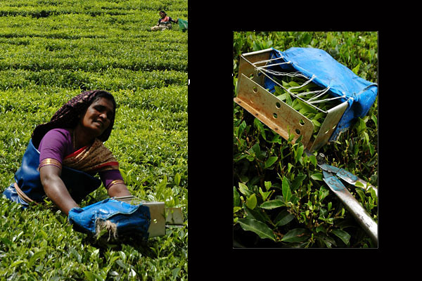 Tea Picker<br /> Munnar, Kerala