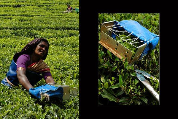 Tea Picker<br /> Munnar, Kerala