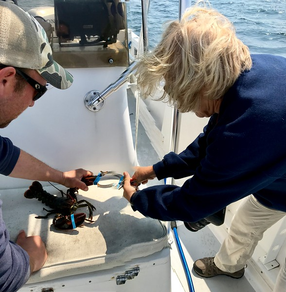 Banding a Lobster in Maine.