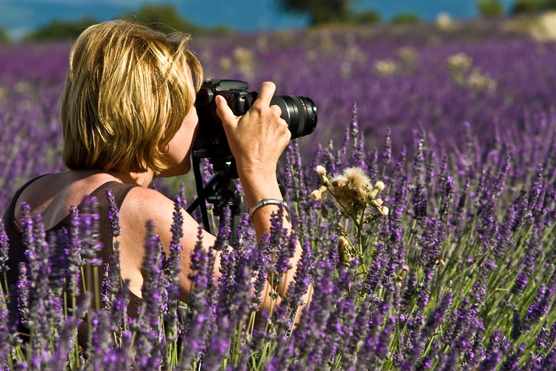 In the lavender fields of Provence, France.