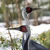 DSC_0435 white napped crane