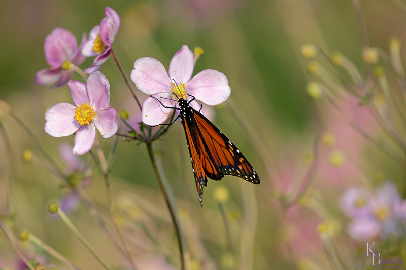 DSC_7614 monarch_DxO