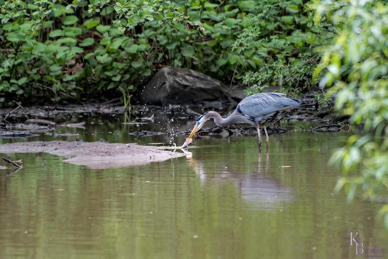 DSC_6265 Great Blue heron