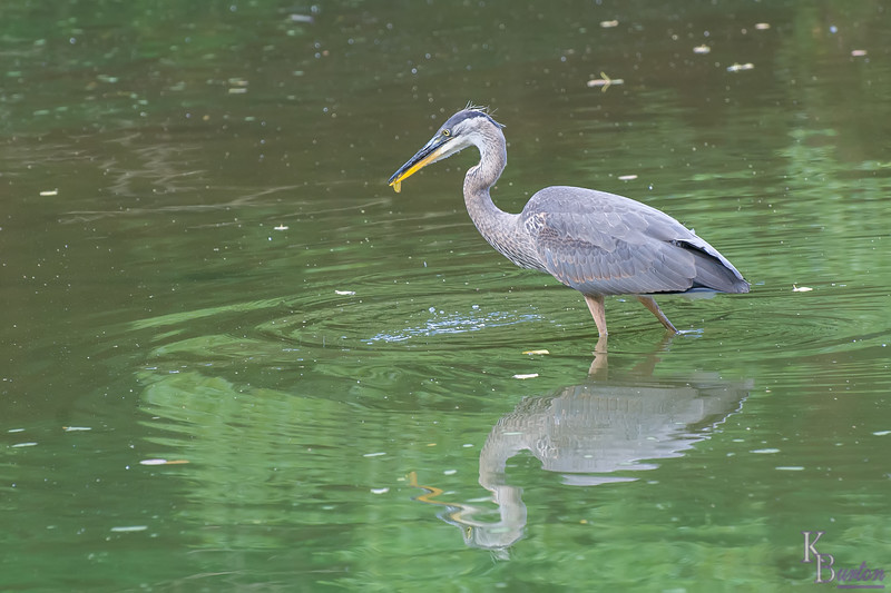This one spent all the time I observed it, grabbing sticks and leaves as if they were fish, no doubt testing it's hunting skills on simple floating objects to get it's aim and reflexes up to snuff for when it had to feed itself for real, as mom and dad still were bring the 3 remaining  chicks  food.