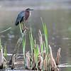 DSC_7008 green heron