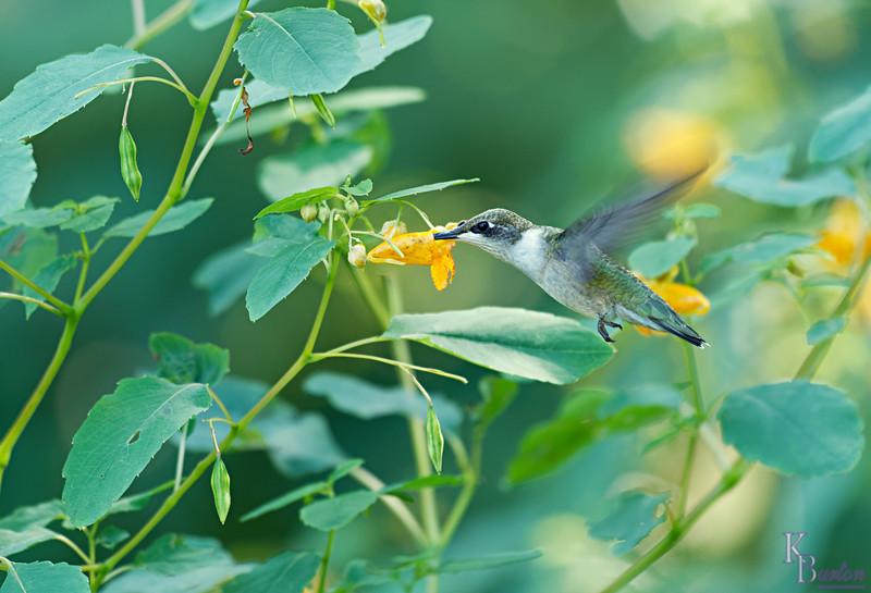 DSC_9758 hummingbird_DxO