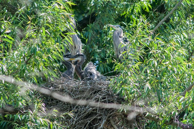 DSC_6906 Heron's nest
