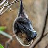 DSC_8374 fruit bat