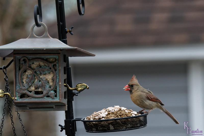 DSC_4159 female cardinal