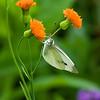 DSC_4136 butterfly feeding on thisle