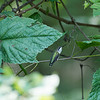 DSC_8771 hummingbirds of Clover lakes_DxO