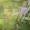 DSC_4054 green heron
