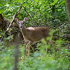 DSC_9134 deer_DxO