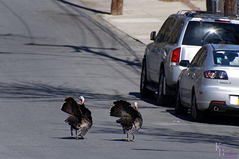 DSC_5182 turkey patrol_DxO