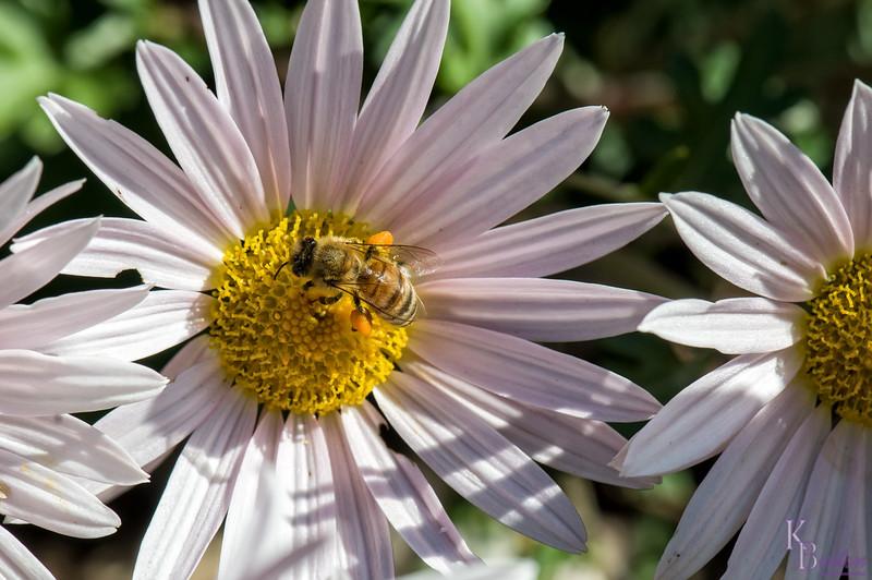 DSC_9143 honey bee