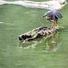 DSC_3761 green heron
