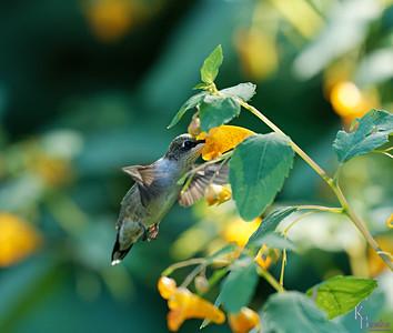 DSC_9767 hummingbird_DxO