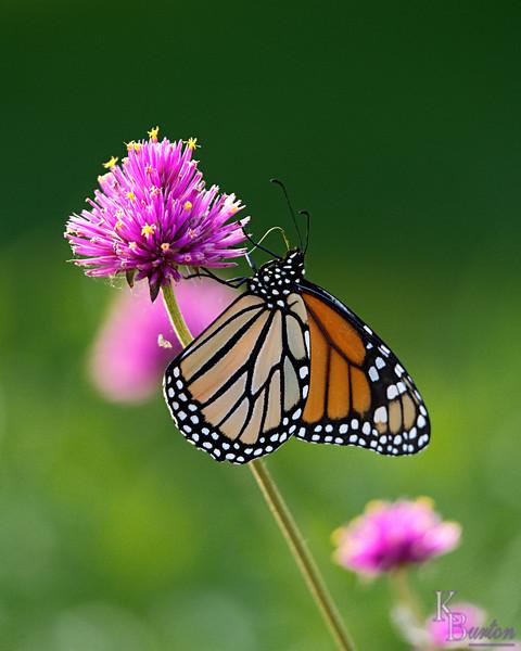 DSC_8839 monarch_DxO