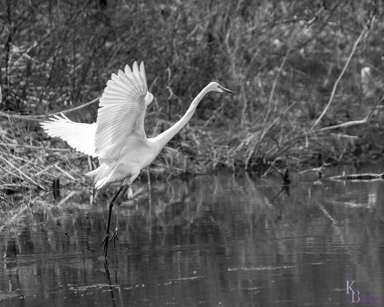 DSC_6880 great white egret
