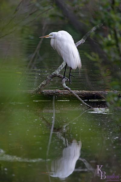 DSC_2901 great white egret_DxO