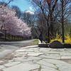 DSC_3717 Cherry blossom season