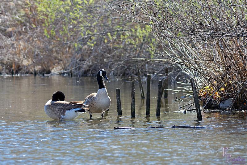 DSC_7492 Canadian geese_DxO