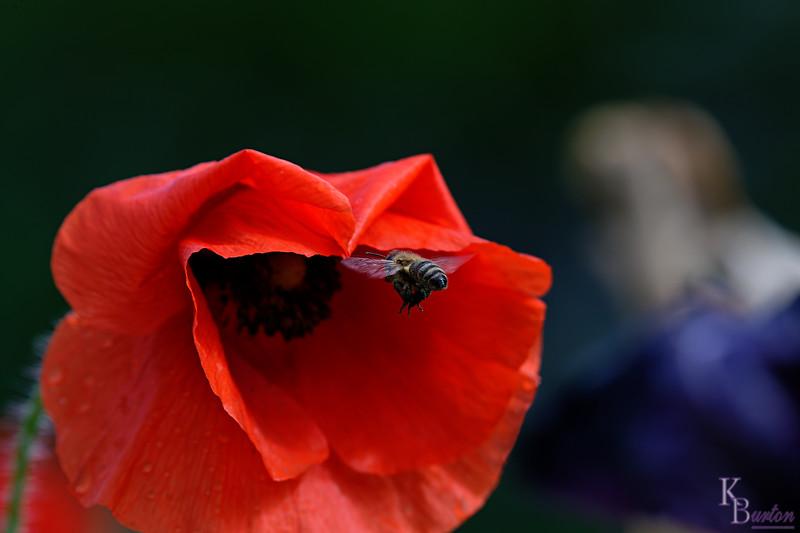 DSC_2226 foraging for nectar_DxO