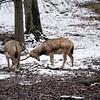 DSC_8636 Pere David's deer