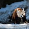 DSC_0479 red panda
