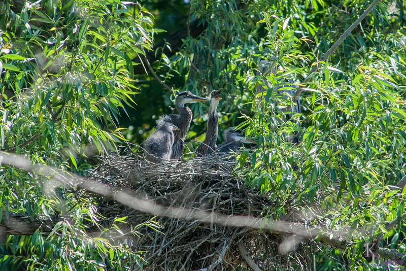 It was the 6th of June and I was certain all the eggs laid by our resident pair of great blues here at Clove Lakes would have hatched. After observing the nest for just a little while I was able to see that just like last year, they had 4 babies, and all looked to be in excellent shape, wonderful!!
