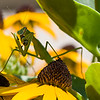 DSC_3037 Praying Mantis