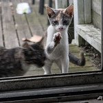 The two remaining kittens have a keen eye when it comes to spotting the dish I put their food in when I feed them (once every 3 or 4 days I put the dish out in the backyard for them). Momma  ...