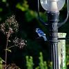 DSC_9213 blue jay