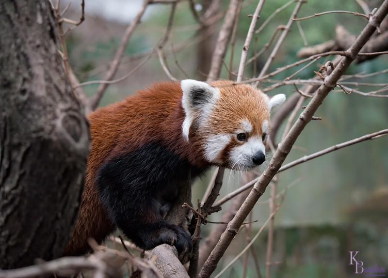 DSC_8343 red panda