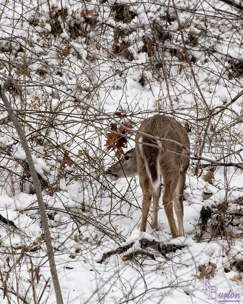 DSC_3726 The deer of Clove Lakes