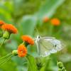 DSC_4108 butterfly feeding on thisle