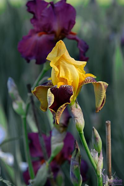 DSC_8075 yellow iris_DxO