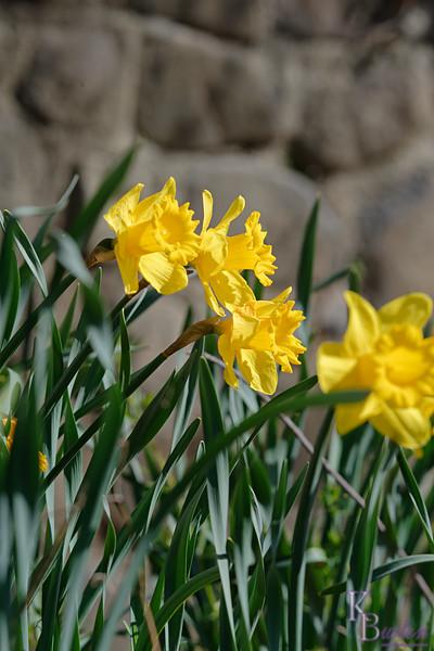 DSC_3650 daffodils_DxO