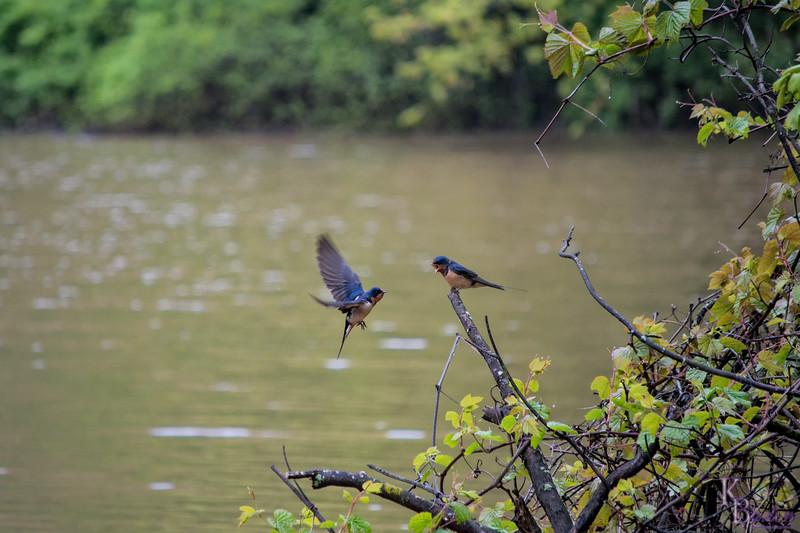 DSC_5759 swallows