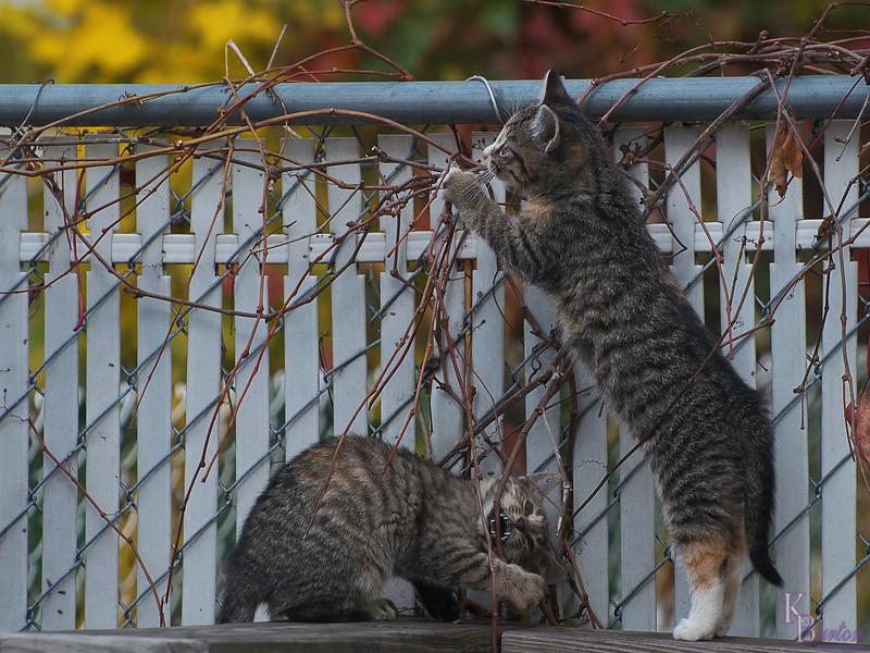 DSC_8711 kitten play