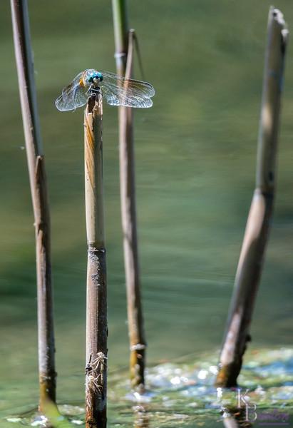 DSC_9760 dragonfly