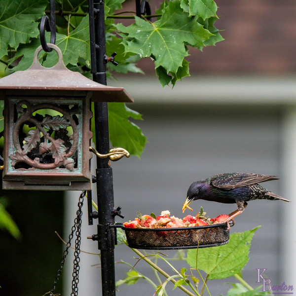 DSC_4097 backyard feeder