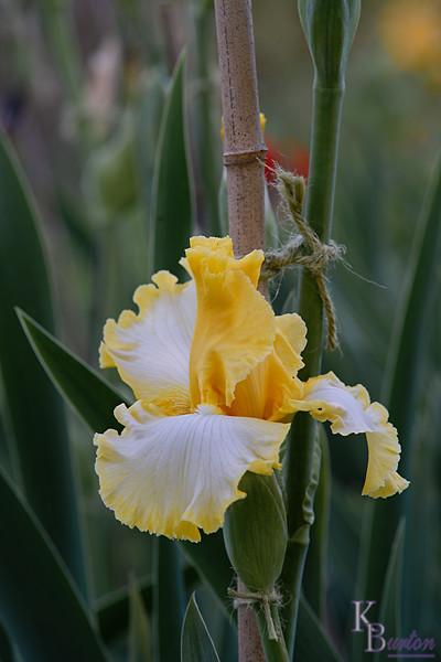 DSC_5501 yellow iris_DxO