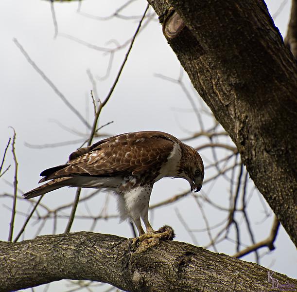 DSC_8704 peregrine falcon_DxO