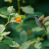 DSC_8764 hummingbirds of Clove Lake_DxO