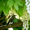 DSC_7639 catbird_DxO