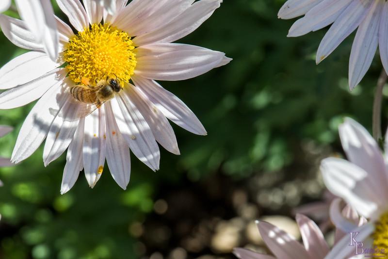 DSC_9159 honey bee