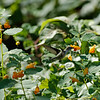 DSC_8828 hummingbirds of Clove lakes_DxO