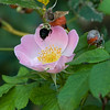 DSC_6027 bumblebee