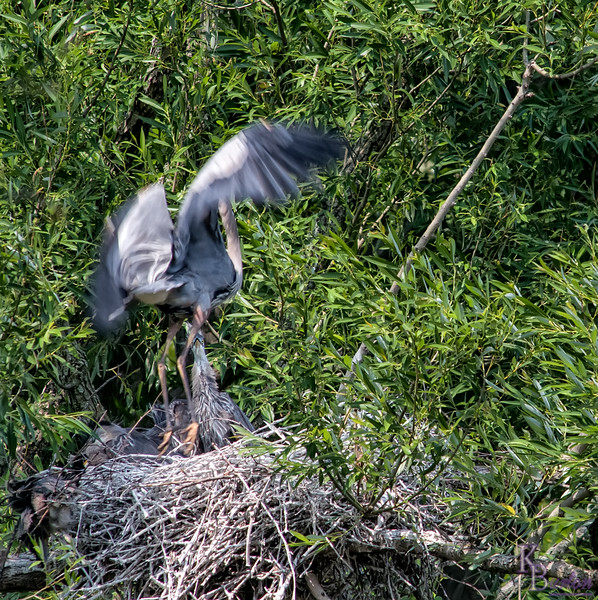DSC_9189  Heron's nest